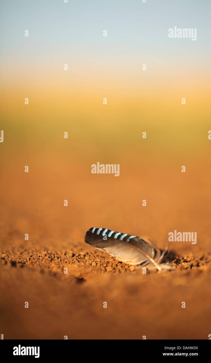 Selective focus sur une plume d'oiseau de Jay sur le terrain Photo Stock