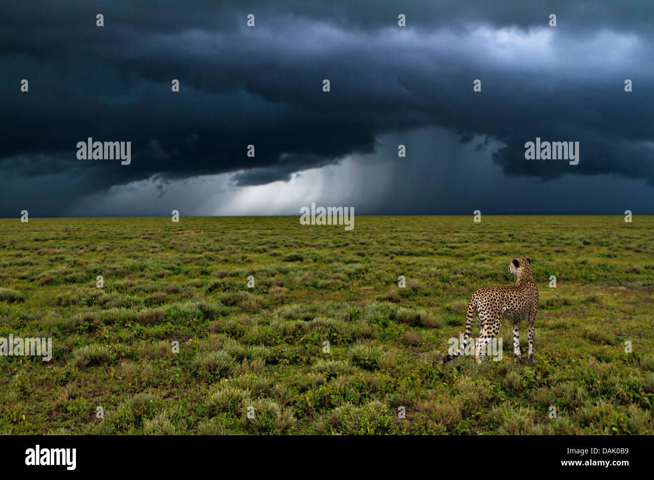 Le Guépard (Acinonyx jubatus) en face d'une tempête Photo Stock