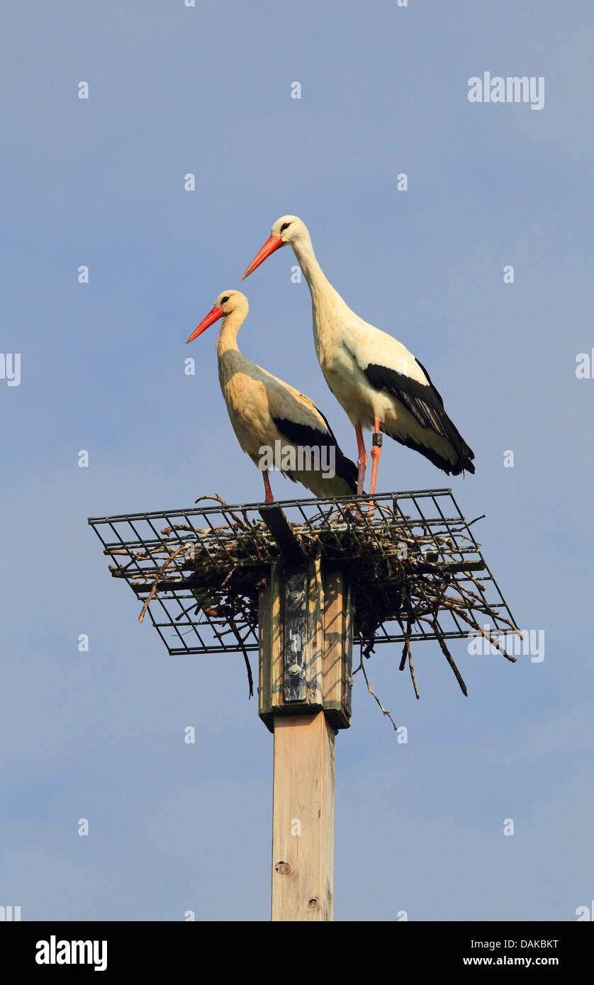 Cigogne Blanche (Ciconia ciconia), paire de cigognes dans leur nid à l'aide d'imbrication, Allemagne Banque D'Images