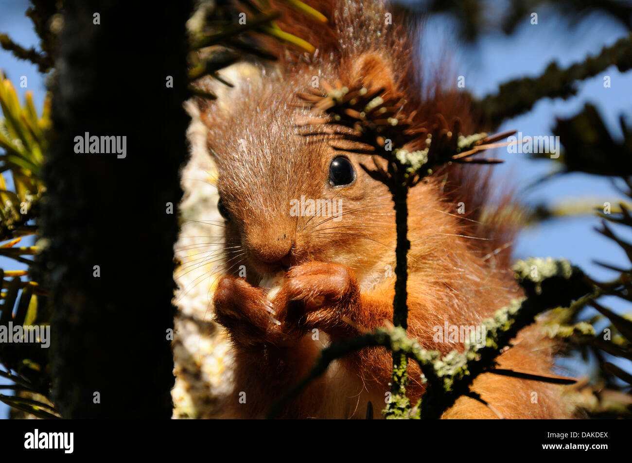 Un écureuil dans l'arbre de notre jardin Photo Stock