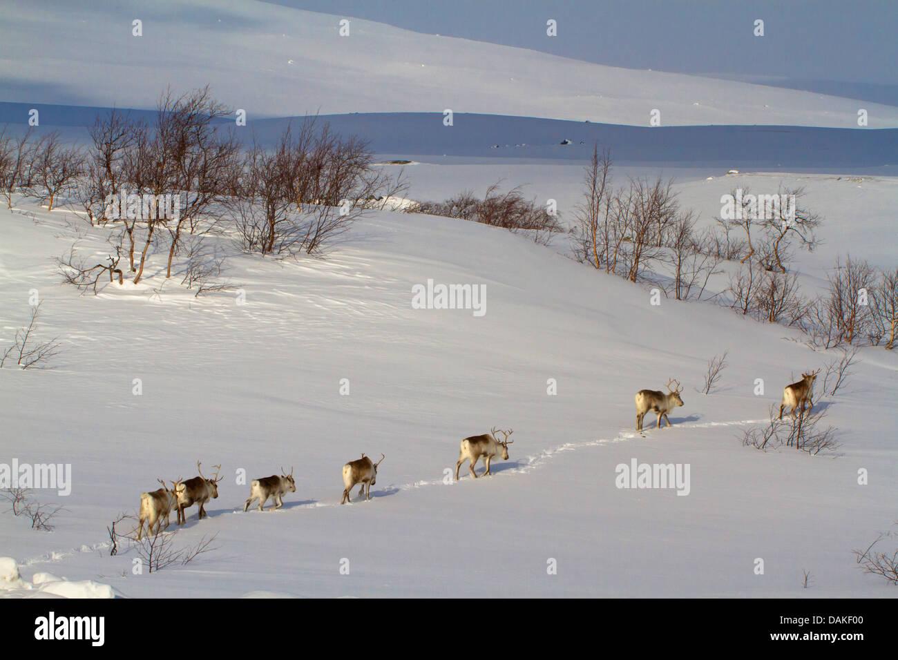 Le renne, le caribou (Rangifer tarandus), troupeau de marcher l'un derrière l'autre en paysage de neige, en Norvège, Banque D'Images