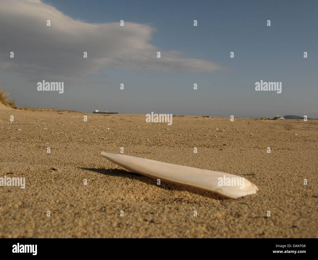 Coleoids (Coleoidea, Dibranchiata), Os de seiche sur la plage, Grèce, Macédoine Banque D'Images