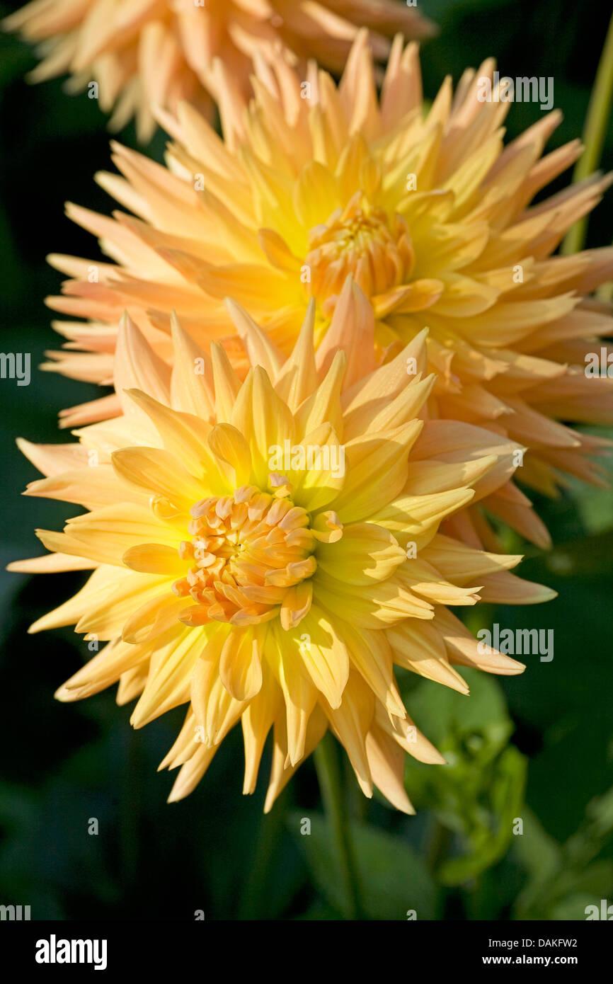 Georgina (Dahlia 'Et Indien', Dahlia et indien), le cultivar et Indien Photo Stock