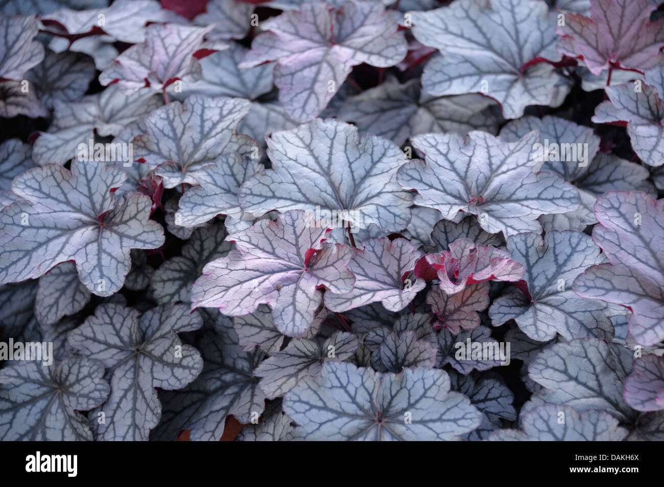 Heuchère (Heuchera 'Smotifs King', Heuchera Seasons King), le cultivar Roi Saisons Photo Stock