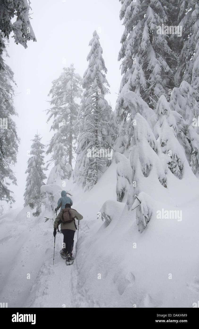 Raquette dans la neige-couvertes de forêts coniverous, Allemagne, Bade-Wurtemberg, Hornisgrinde Photo Stock