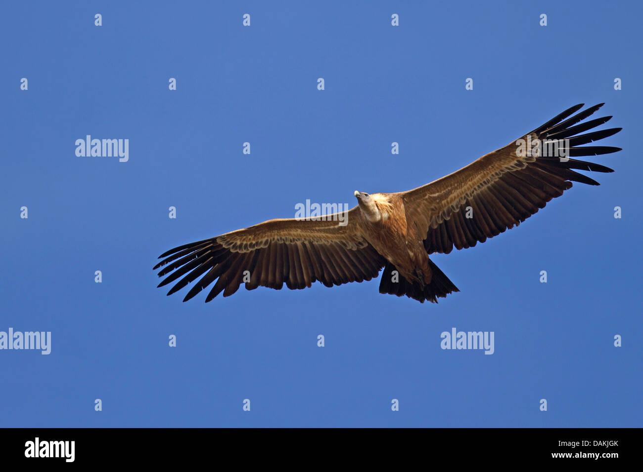 Vautour fauve (Gyps fulvus), les adultes en vol, l'Espagne, l'Estrémadure Banque D'Images