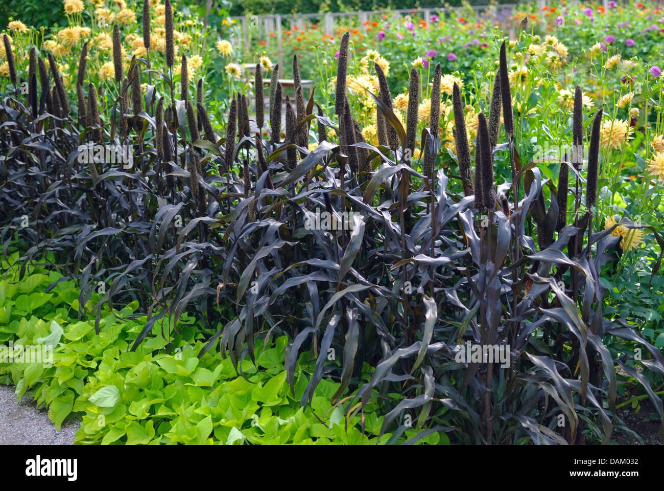 Le millet perlé (Pennisetum glaucum 'Purple Majesty', Pennisetum glaucum Purple Majesty), le cultivar Photo Stock