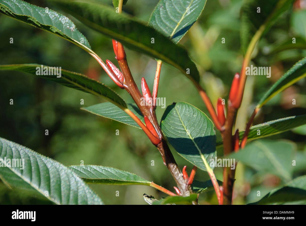 Farges saule (Salix fargesii), branche avec bourgeons, Suisse Photo Stock