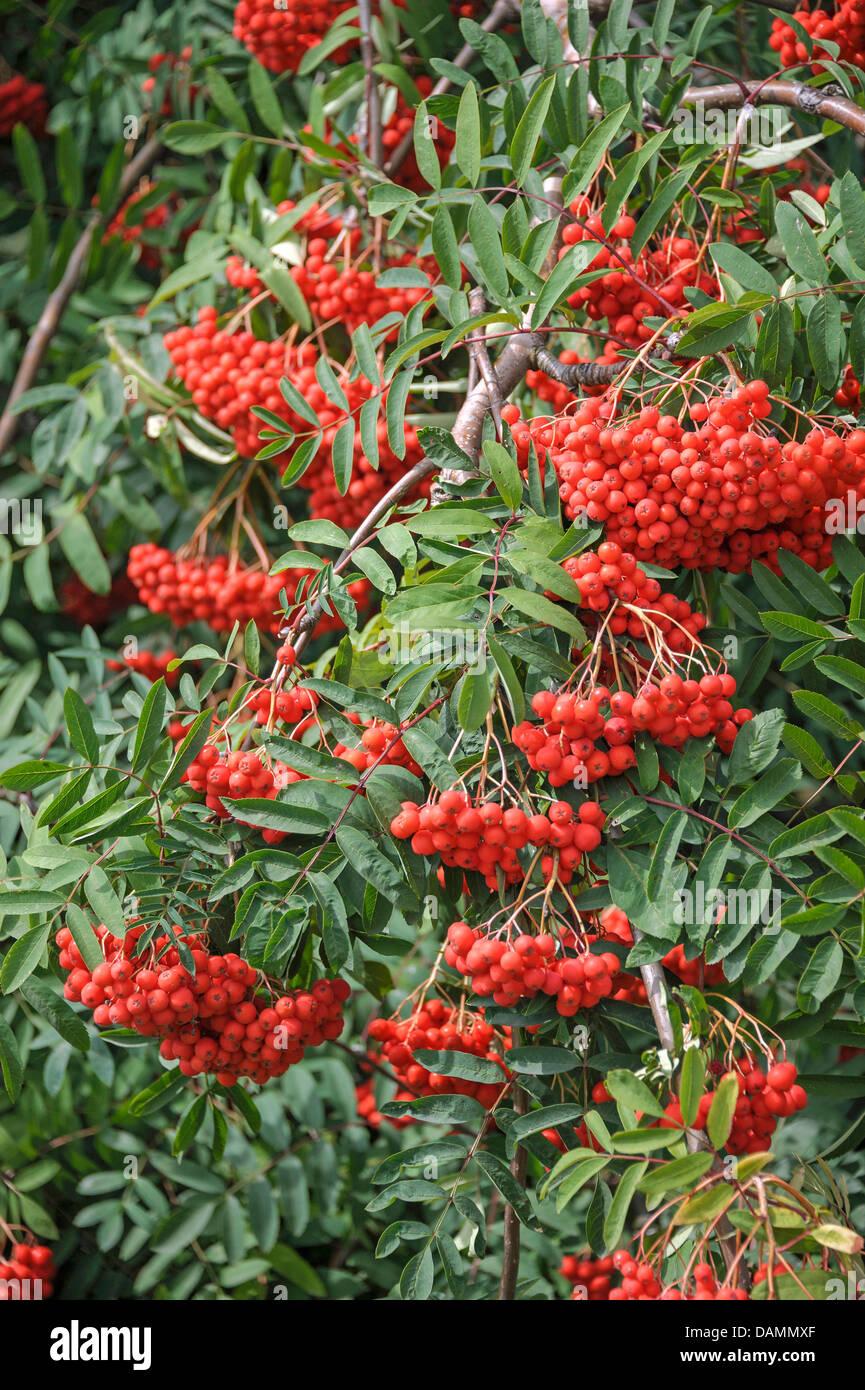 La montagne européenne-ash, Rowan Tree (Sorbus aucuparia 'Rosina', Sorbus aucuparia Rosina), le cultivar Photo Stock