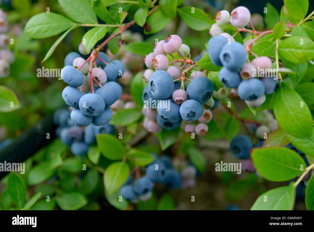 Haut de bleuet, le bleuet en corymbe, marécage (Vaccinium corymbosum 'Nelson', Vaccinium corymbosum Nelson), le Banque D'Images