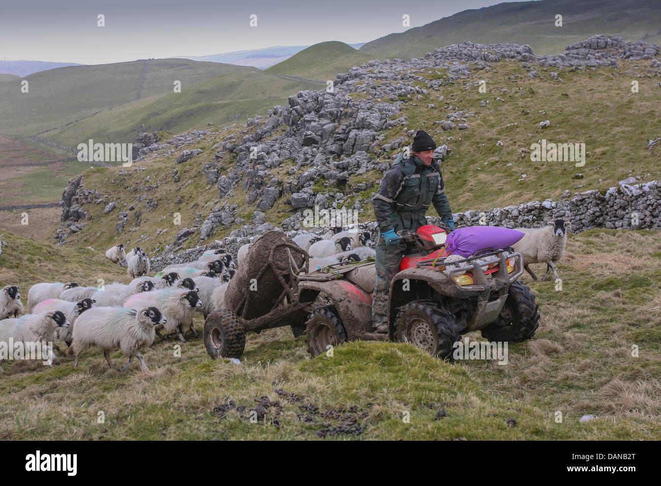Yorkshire Dales en troupeaux de moutons Swaledale agriculteur sur quad en campagne Banque D'Images