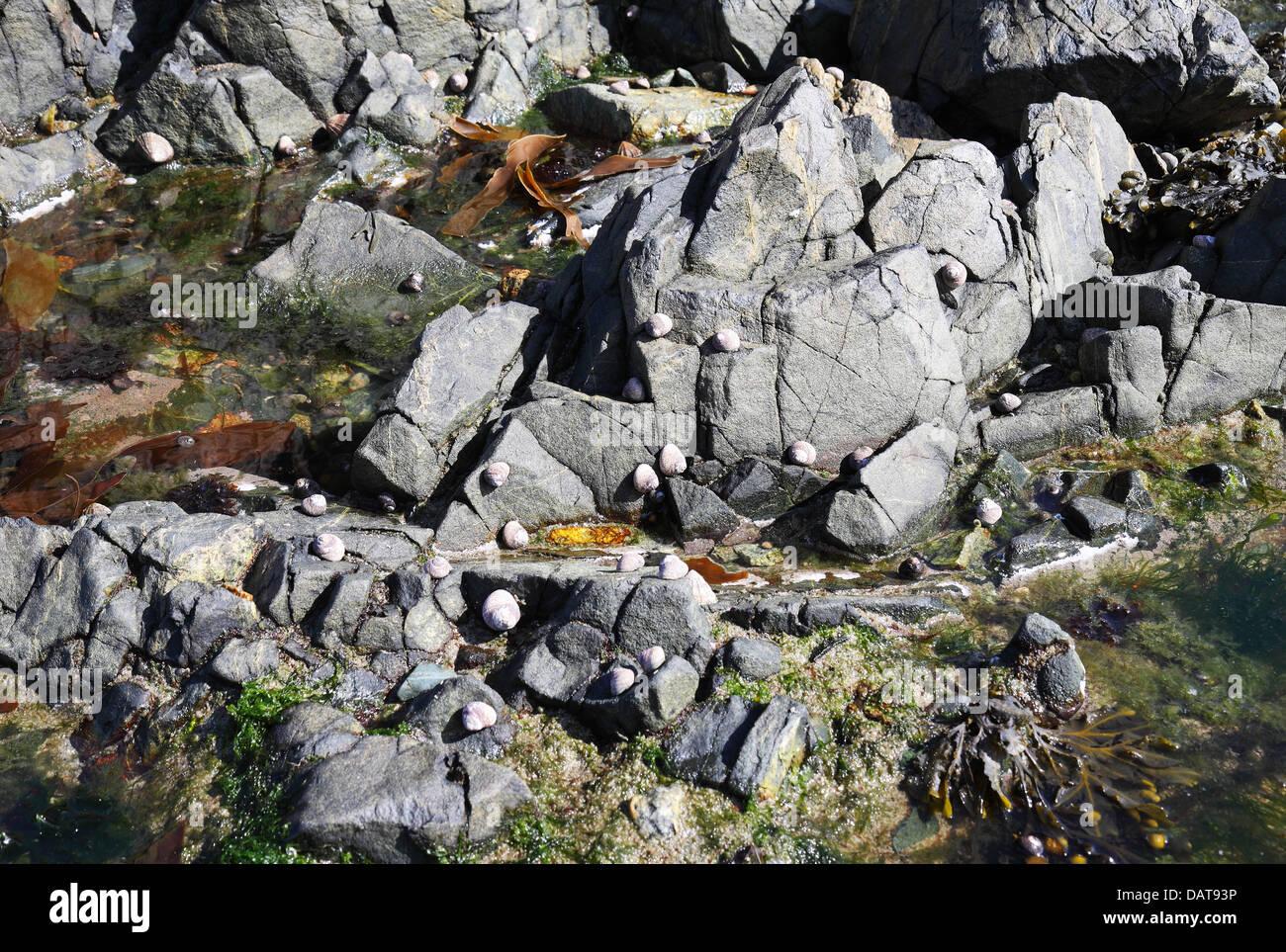 Rock côtière intérieure avec les patelles et les balanes accrochés aux rochers Photo Stock