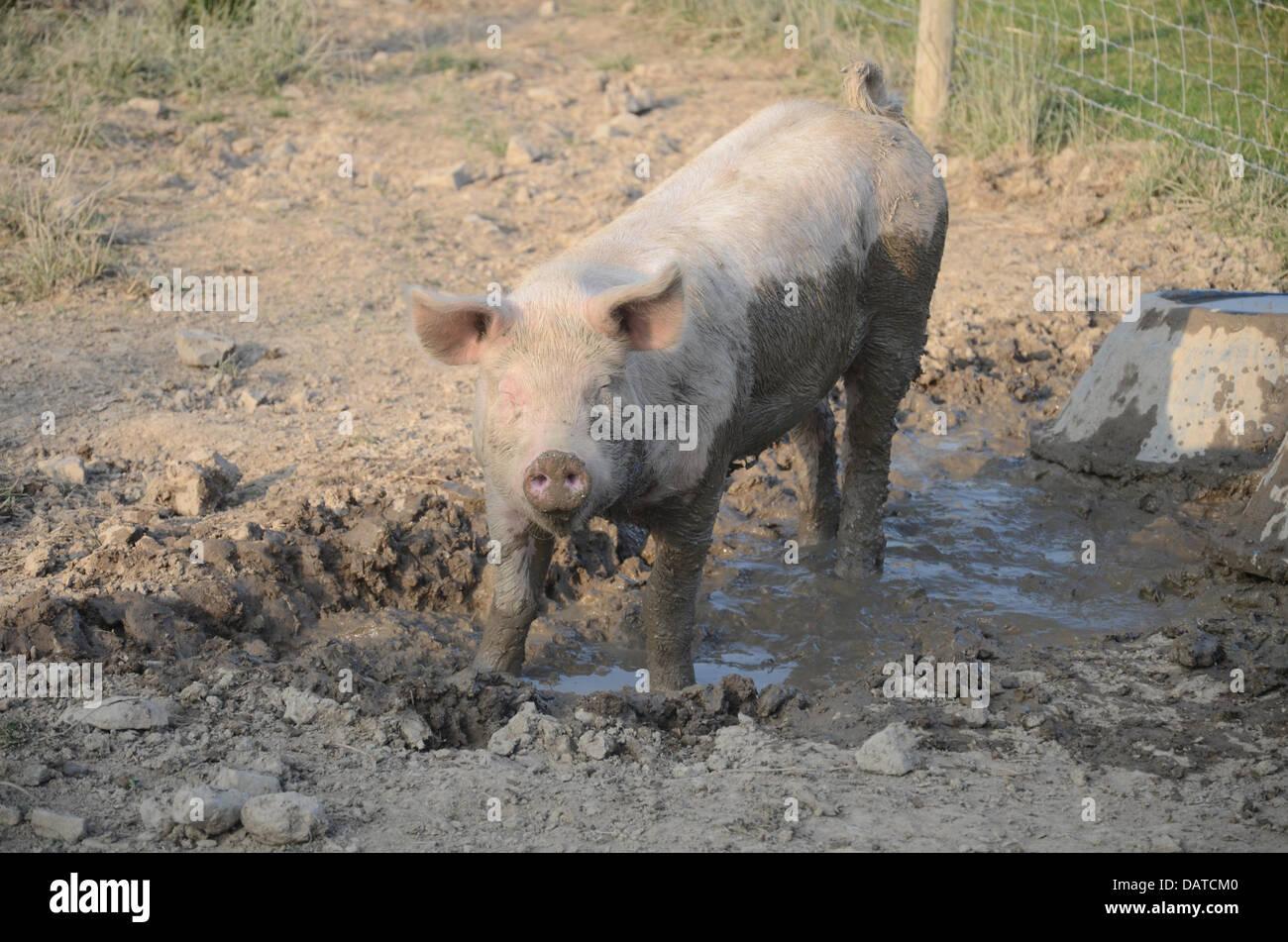 Pourquoi est-ce que les cochons aiment la boue? Les porcs ne peuvent pas transpirer, et ne peut donc se tenir Photo Stock