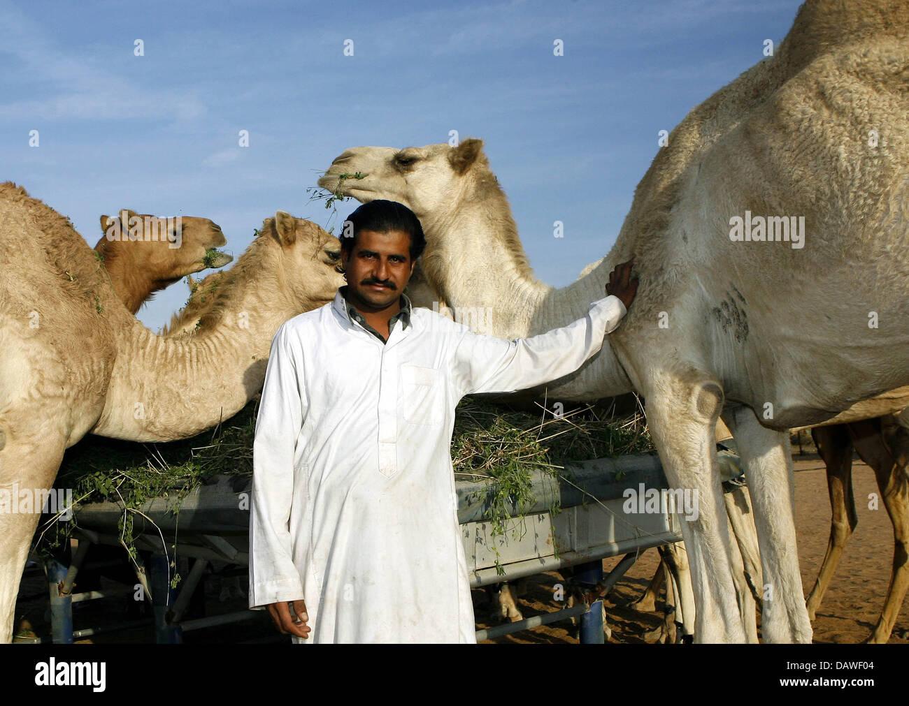 Un berger avec ses dromadaires dans l'Émirat de Sharjah, Emirats Arabes Unis, le 31 janvier 2007. Le petit Photo Stock