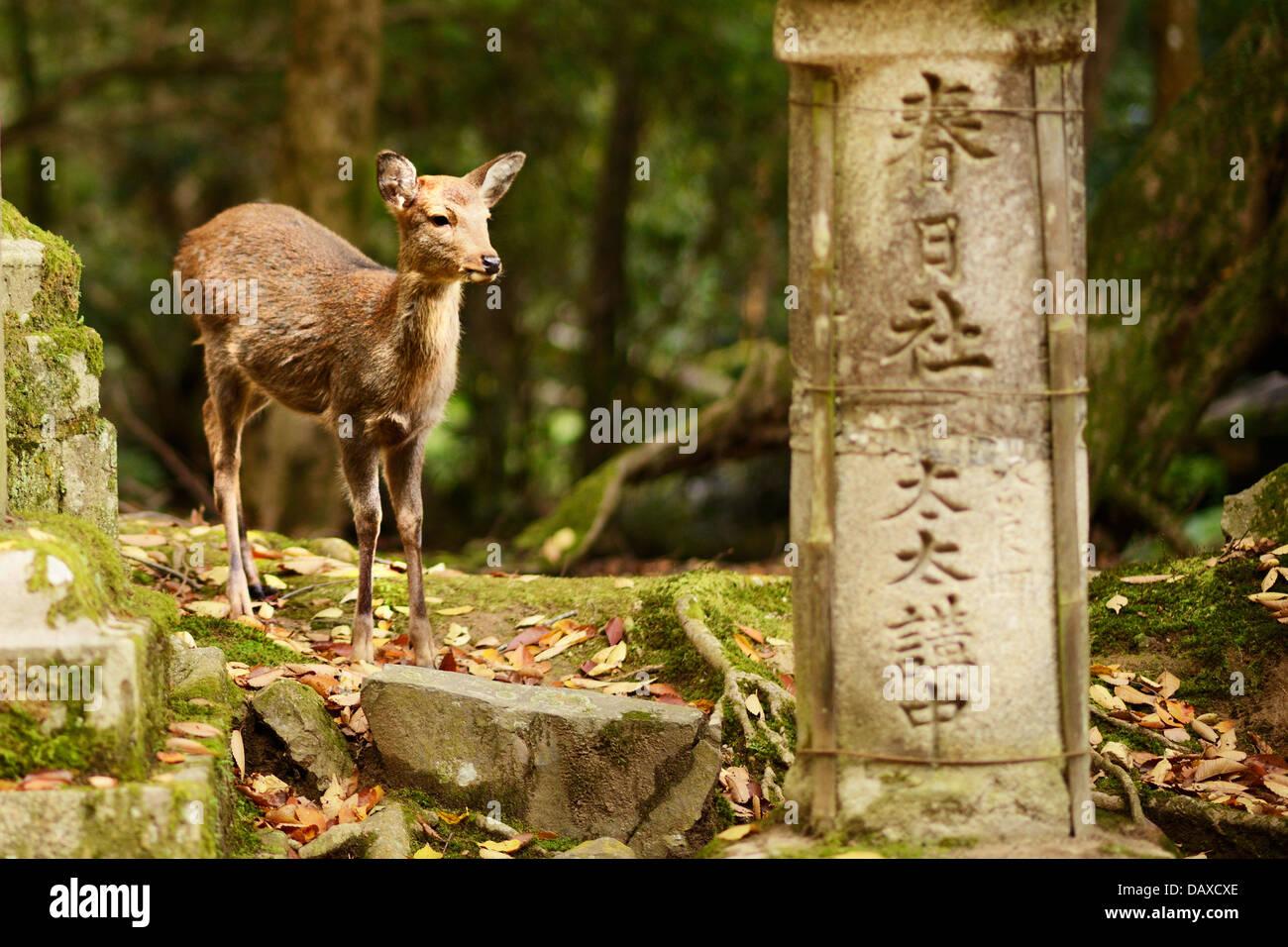Nara deer se promènent en liberté dans le Parc de Nara, au Japon. Photo Stock