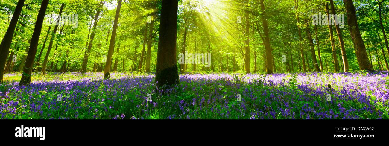 Vue panoramique à l'intérieur d'un bois bluebell avec la lumière pénétrant par Photo Stock