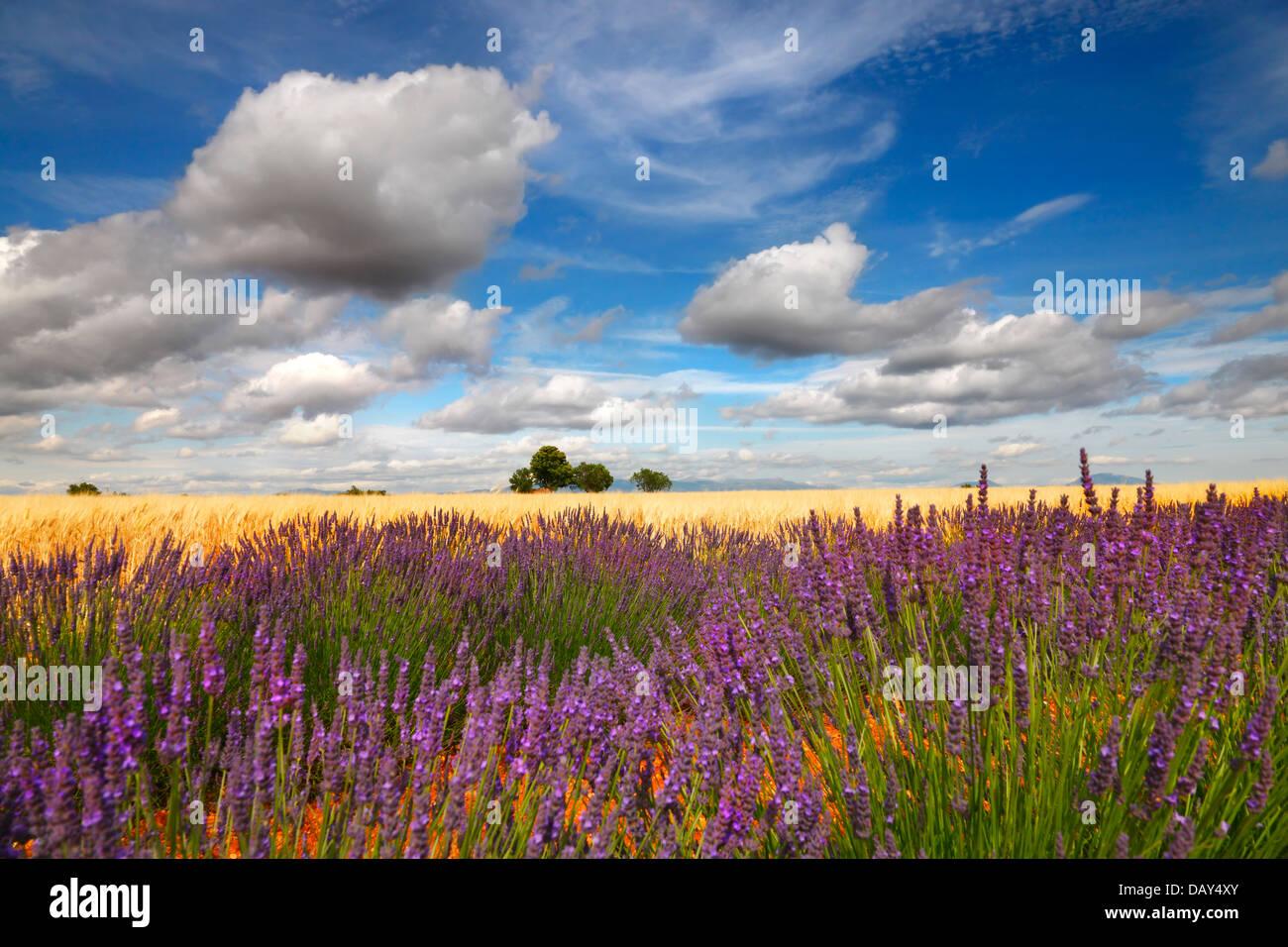 Champ de lavande avec de beaux nuages, Provence France. Photo Stock