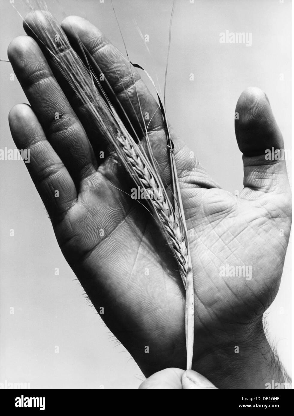 La botanique, l'orge (Hordeum vulgare), l'oreille de l'orge de brasserie, 1950 Additional-Rights-Clearences Photo Stock