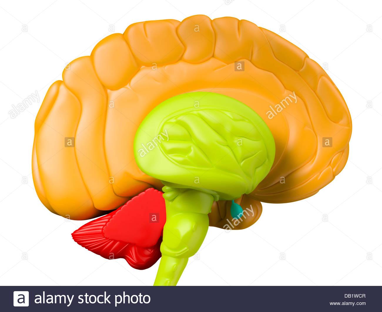 Illustration médicale numérique représentant la vue de côté du cerveau humain avec le lobe Photo Stock