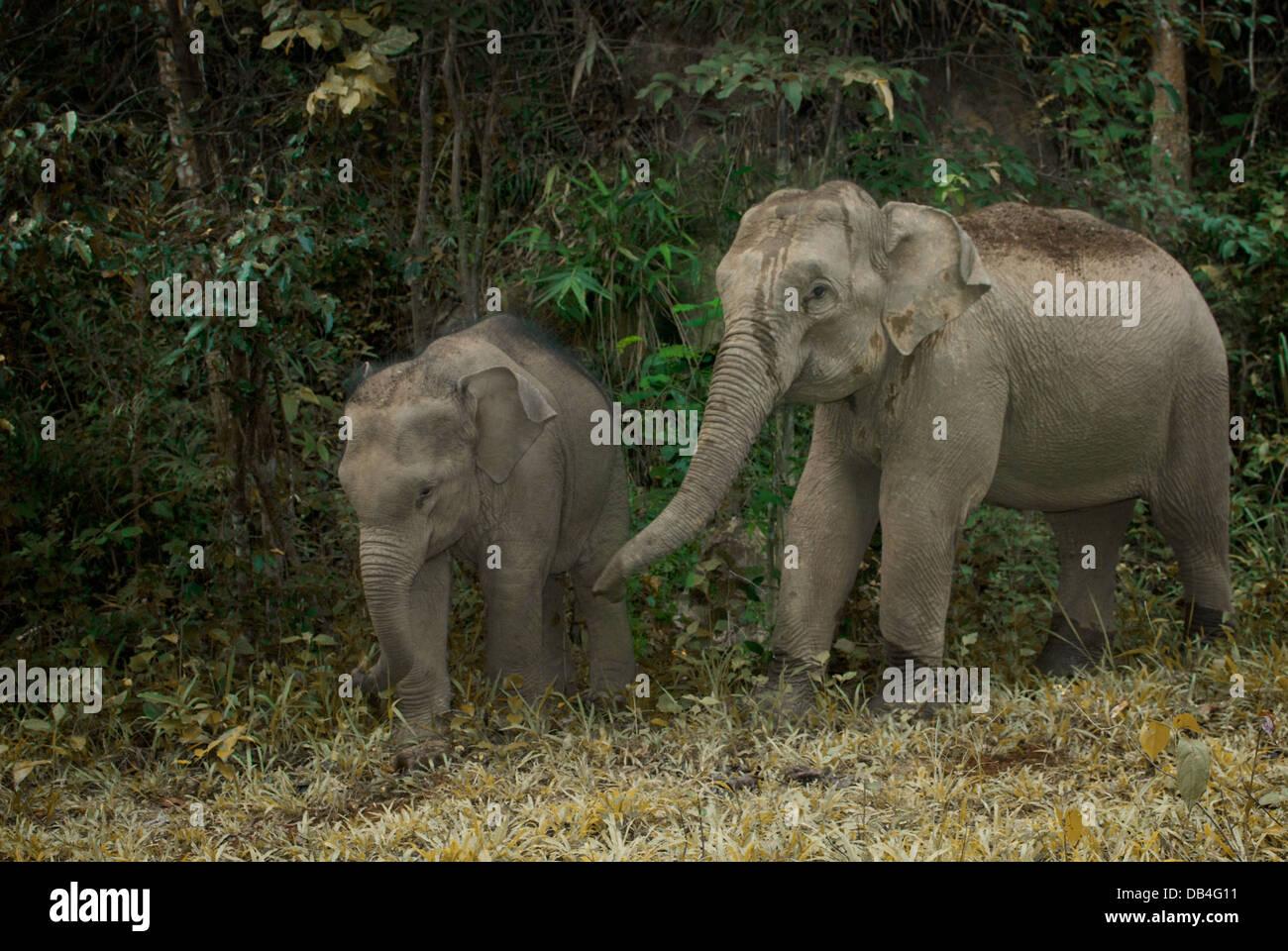 La disparition de l'éléphant d'Asie ou d'Asie (Elephas maximus) est la seule espèce vivante Photo Stock