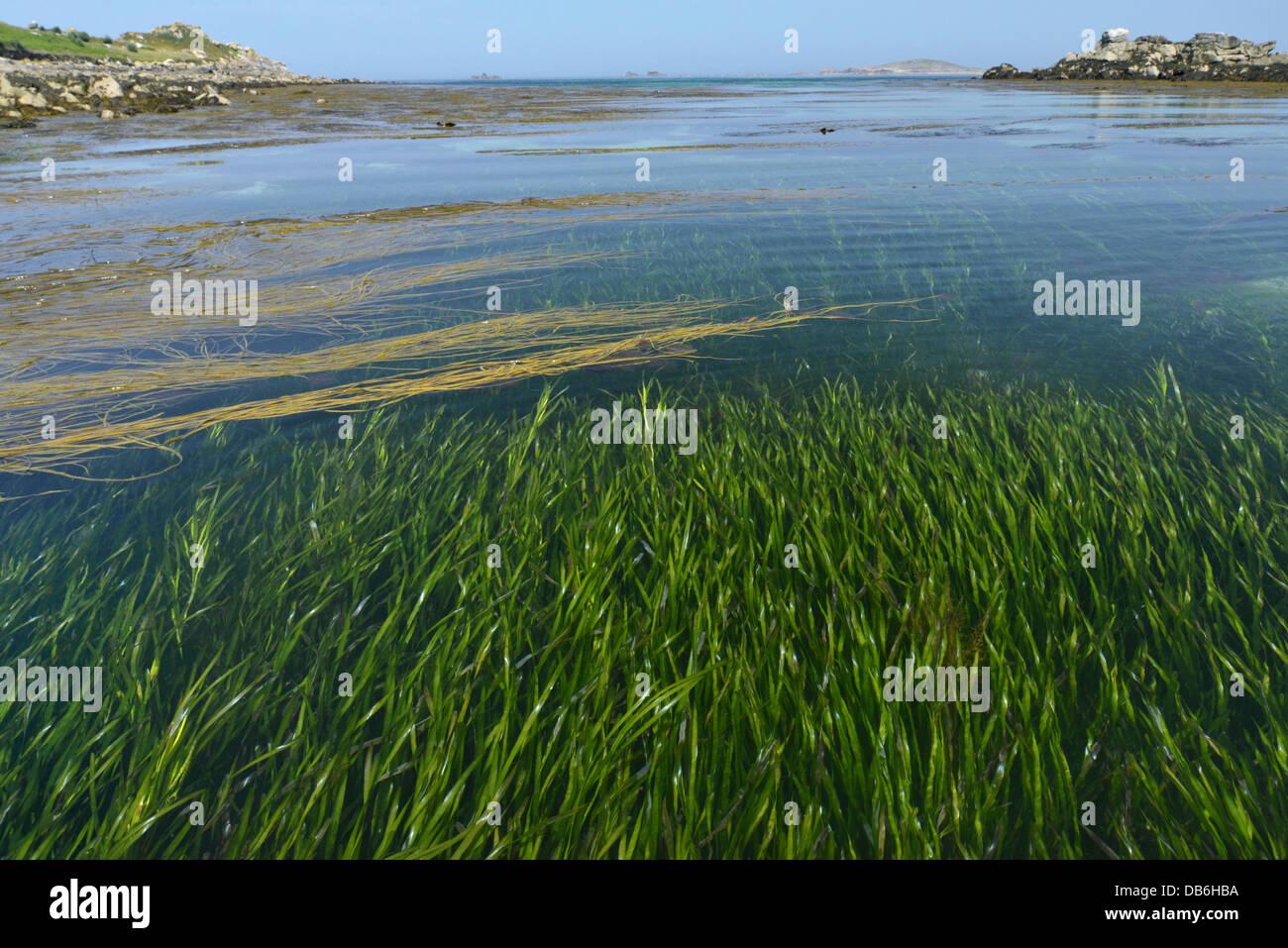 - La zostère Zostera marina. Zostères, au large de St Helen's, Îles Scilly. Photo Stock