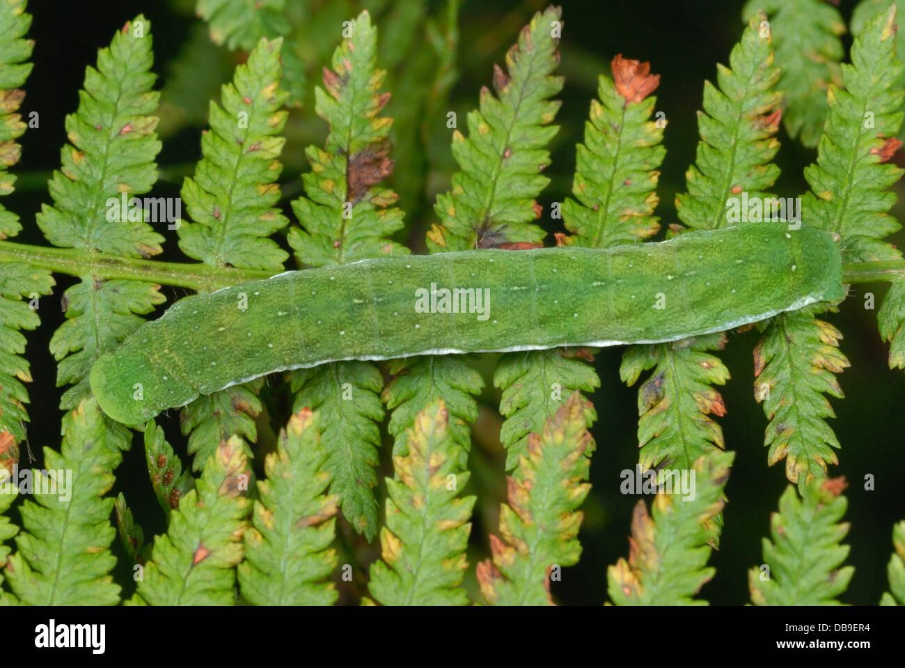 Petit angle de nuances moth (Euplexia lucipara caterpillar) sur une fronde de fougère Photo Stock