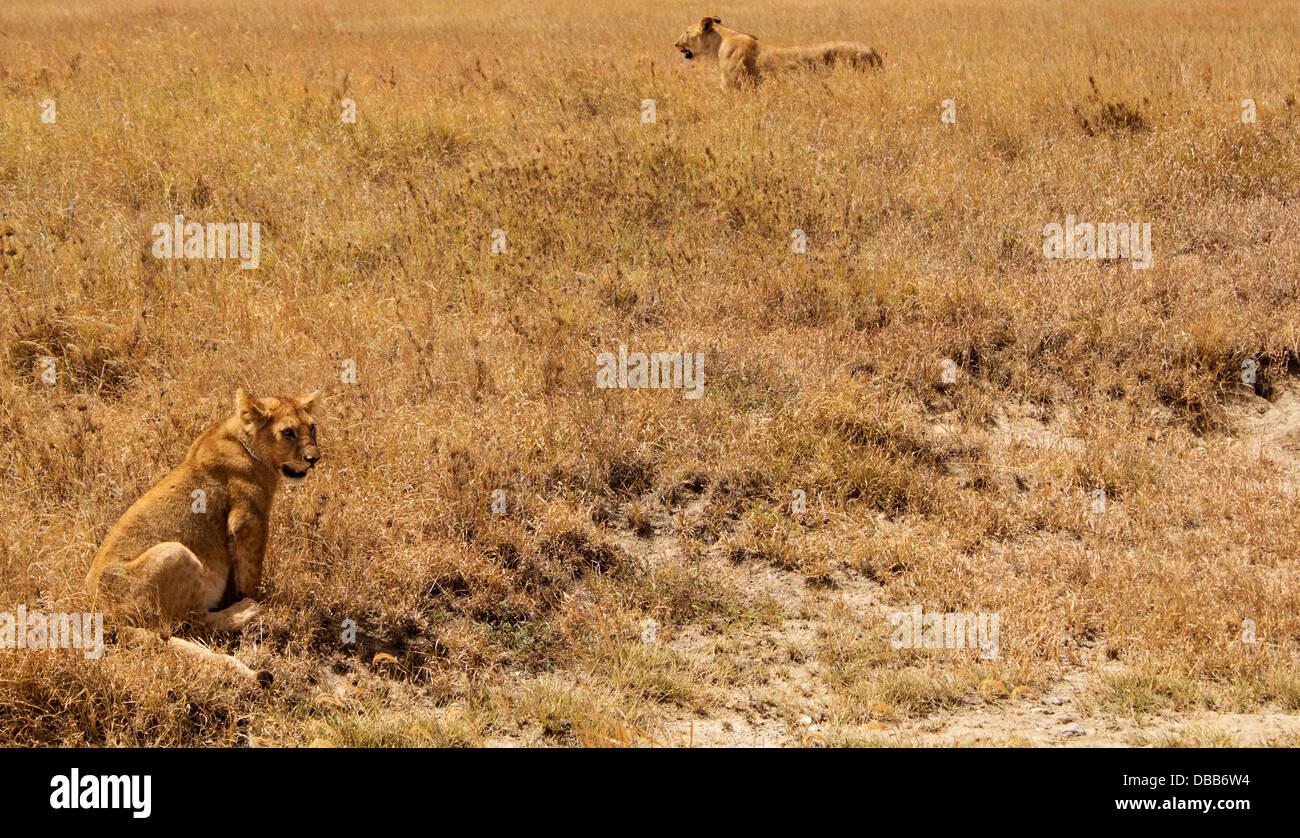 Lionne et cub sur les plaines du Serengeti, Tanzania, Africa Photo Stock