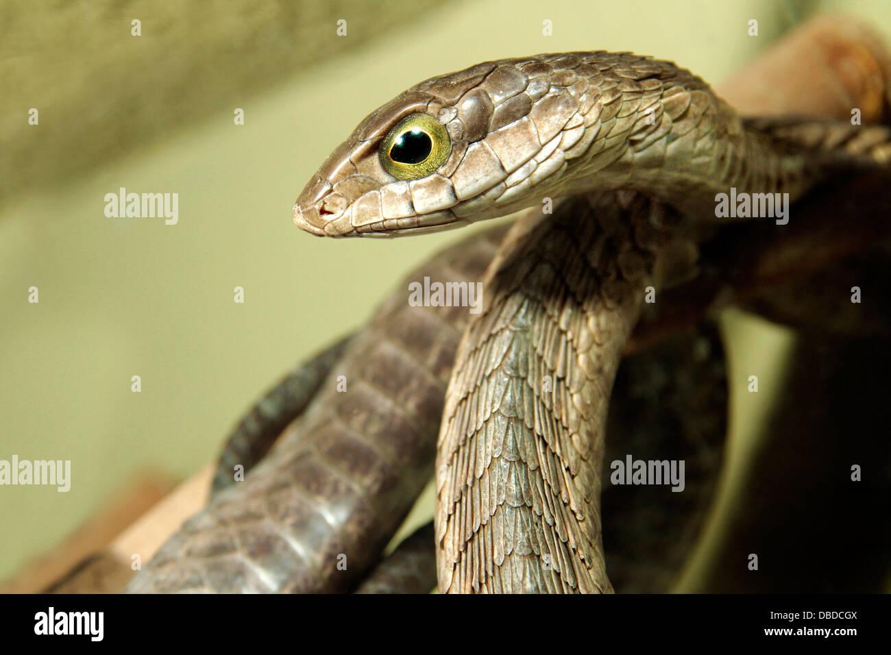 Le boomslang serpent ou est un serpent timide et la plupart des morsures se produisent lorsque les gens tentent Photo Stock