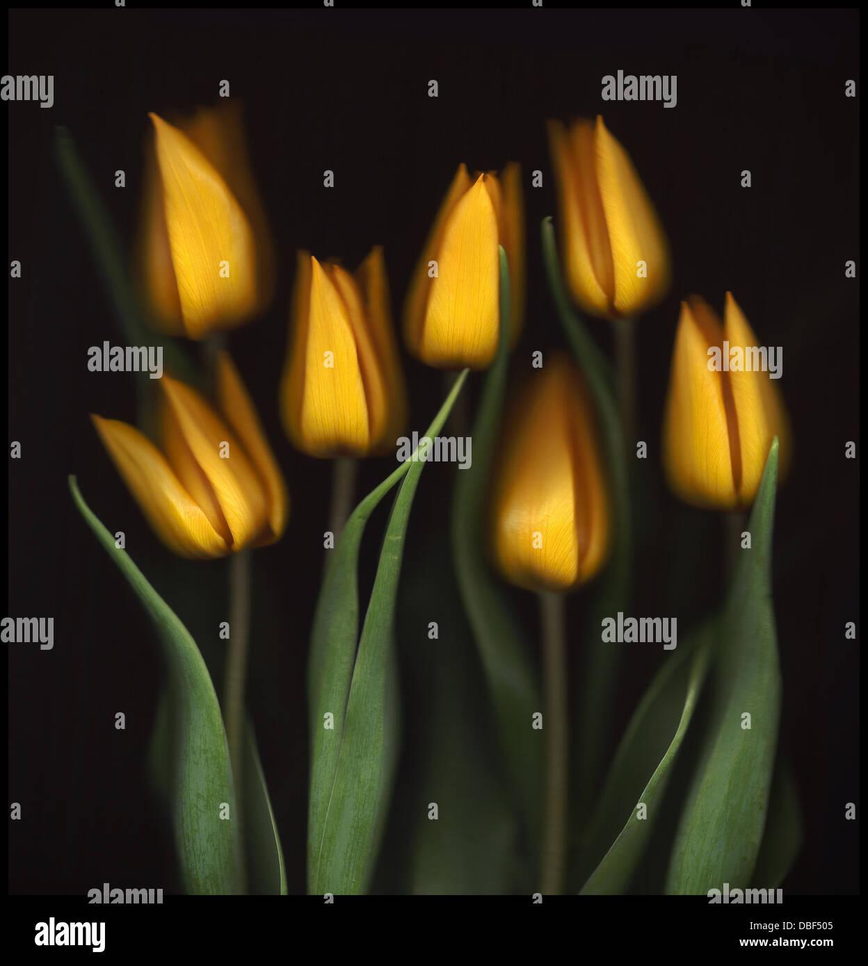 Dutch numérisé l'automne tulipes. Photo Stock