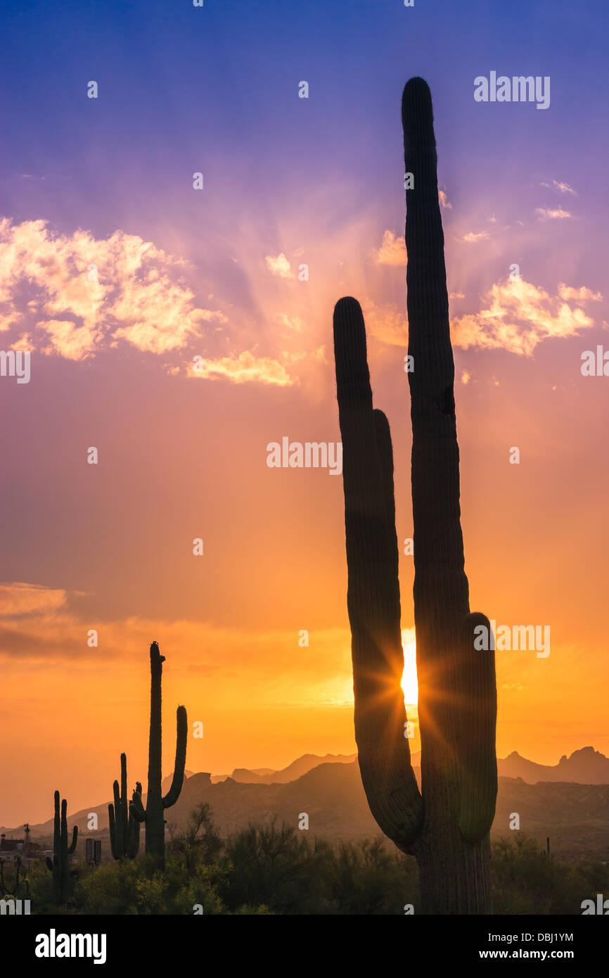Saguaro Cactus au coucher du soleil dans la région de Lost Dutchman State Park, Arizona, USA Photo Stock