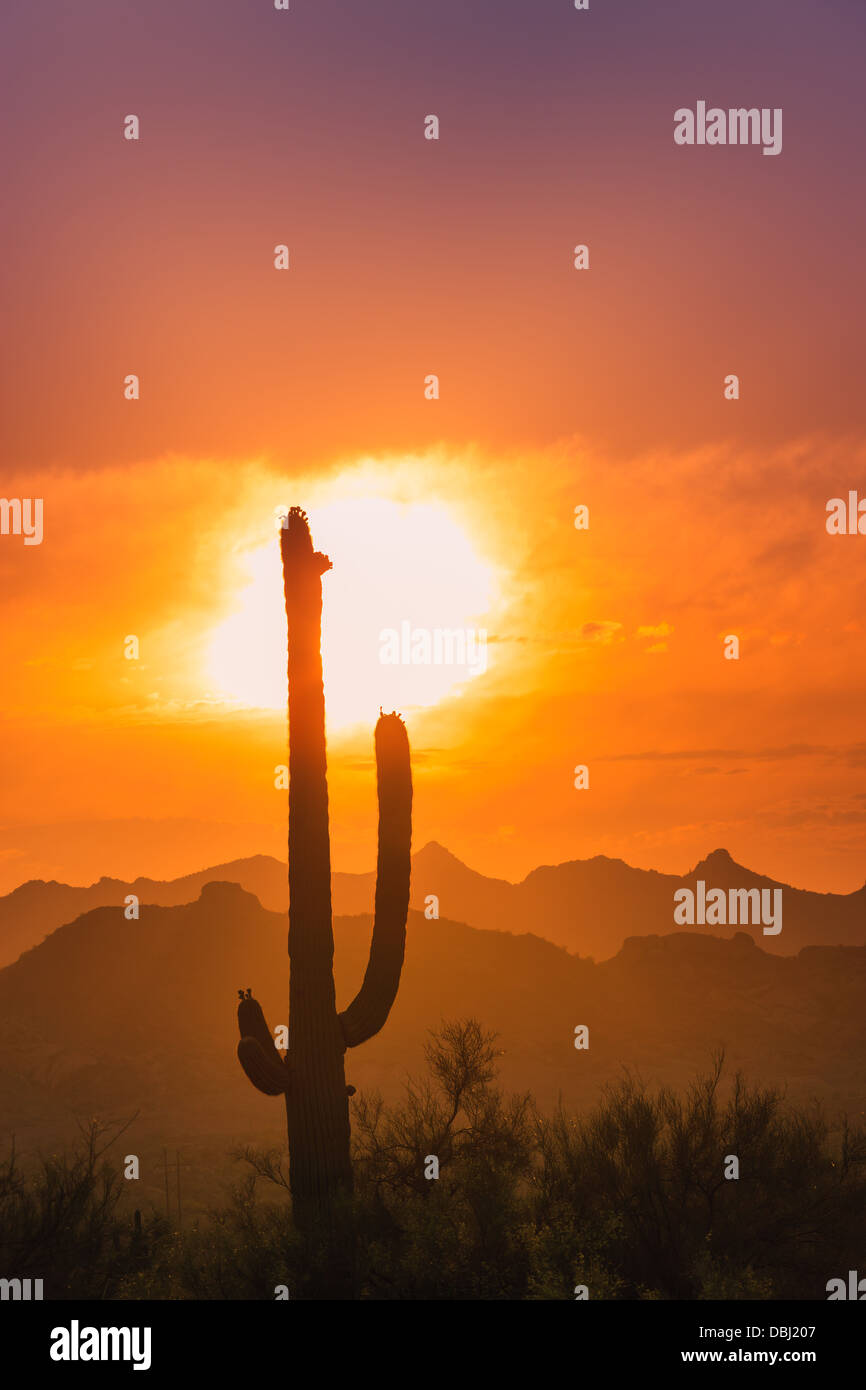 Saguaro Cactus au coucher du soleil dans la région de Lost Dutchman State Park, Arizona, USA Photo Stock