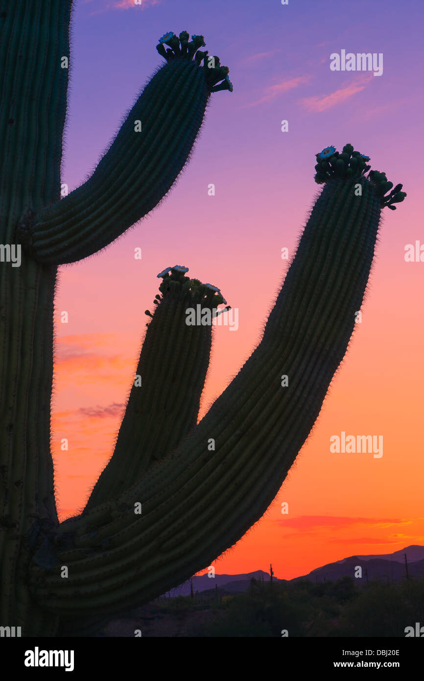 Saguaro Cactus au lever du soleil dans la région de Lost Dutchman State Park, Arizona, USA Photo Stock
