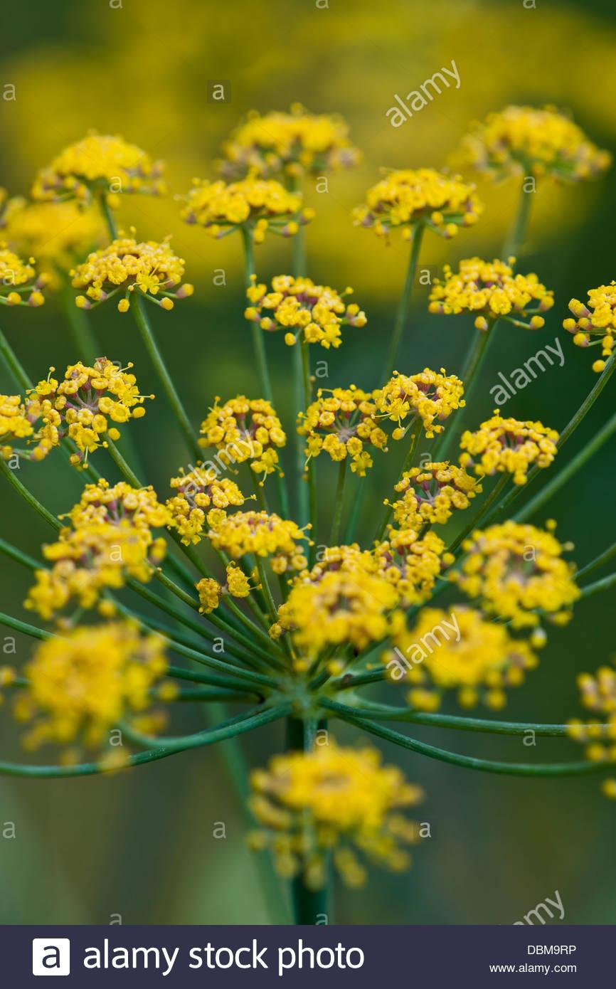 Foeniculum vulgare Fenouil vivace herbacée fleurs jaune vert d\'été ...