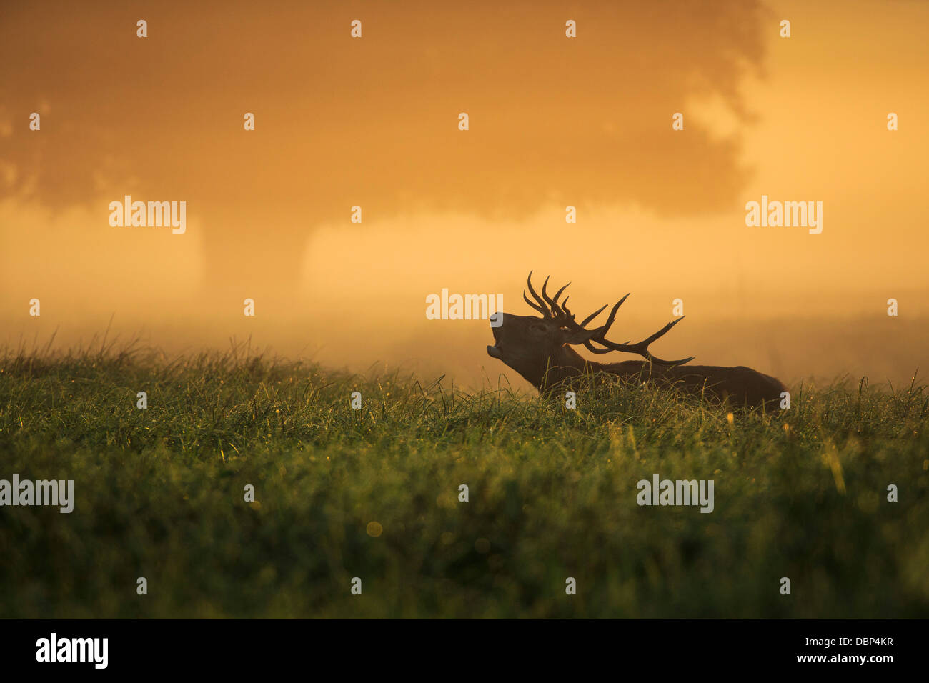 Stag en champ à l'aube Photo Stock
