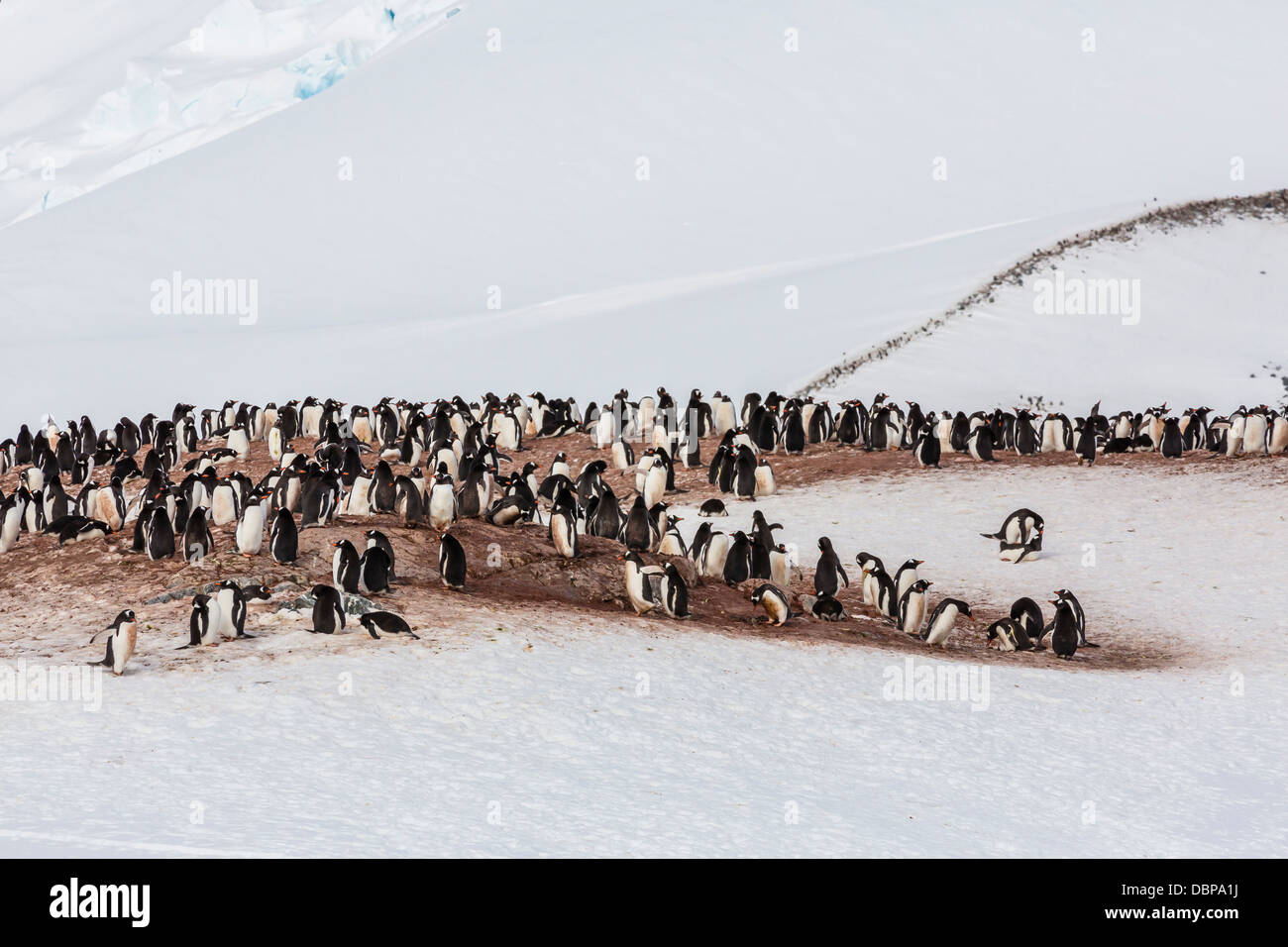Manchots adultes (Pygoscelis papua) colonie d'accouplement sur l'Île Cuverville, l'Antarctique, Photo Stock