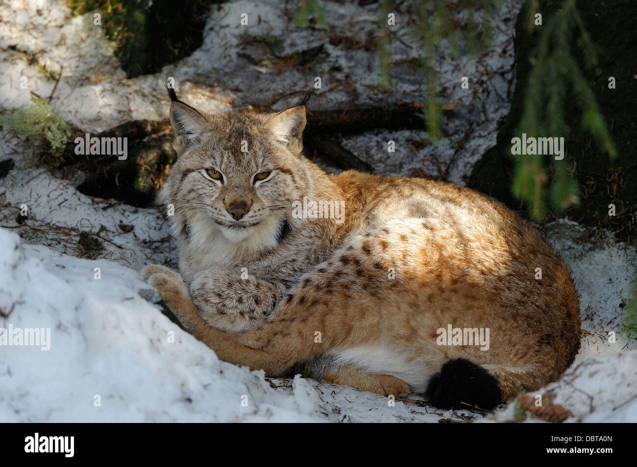 Lynx dans zoo Photo Stock