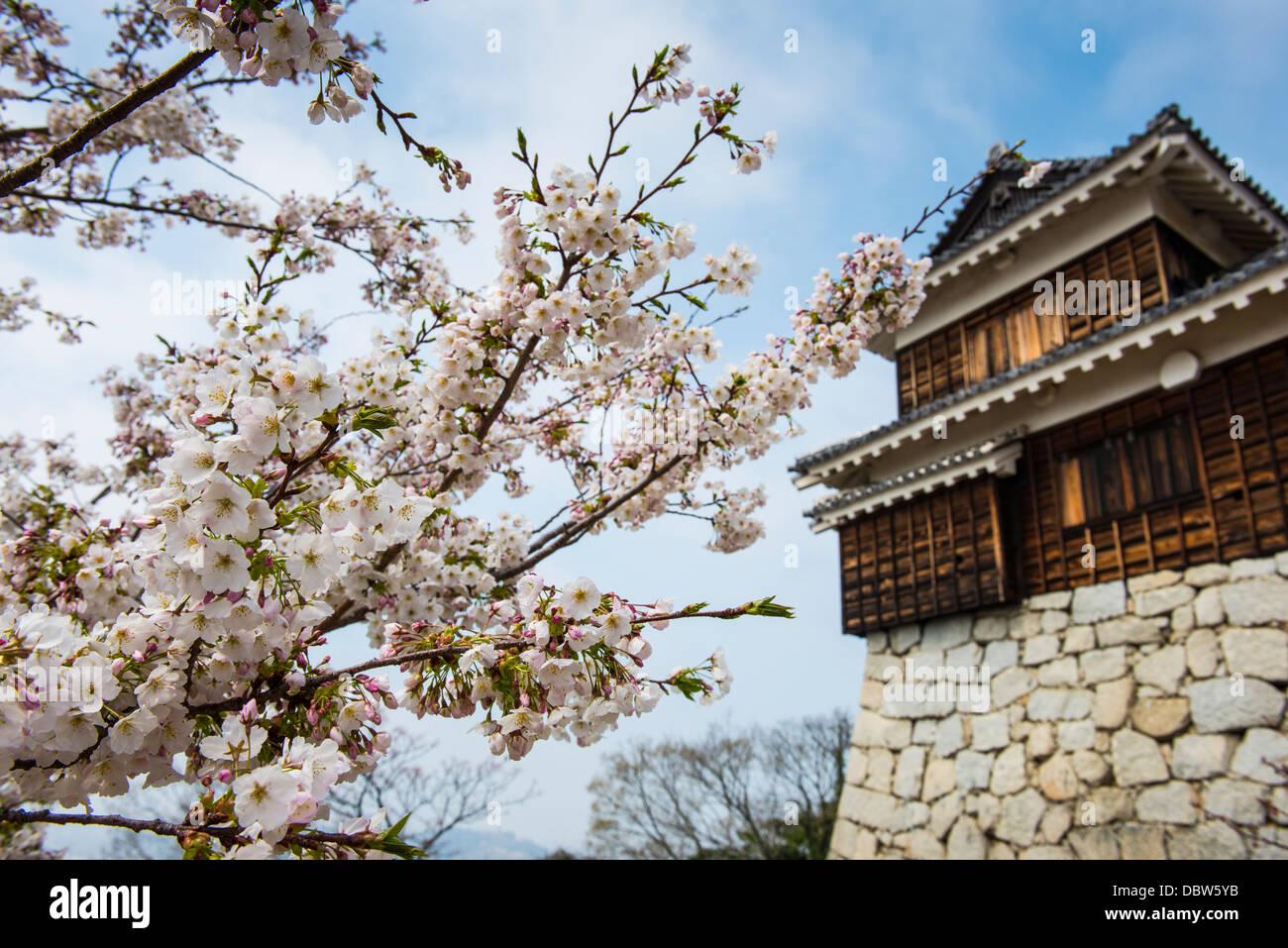 Fleur de cerisier et le château de Matsuyama, Shikoku, Japon, Asie Photo Stock