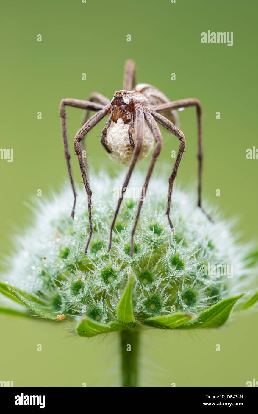 Spider web pépinière femelle portant un sac d'oeufs Photo Stock