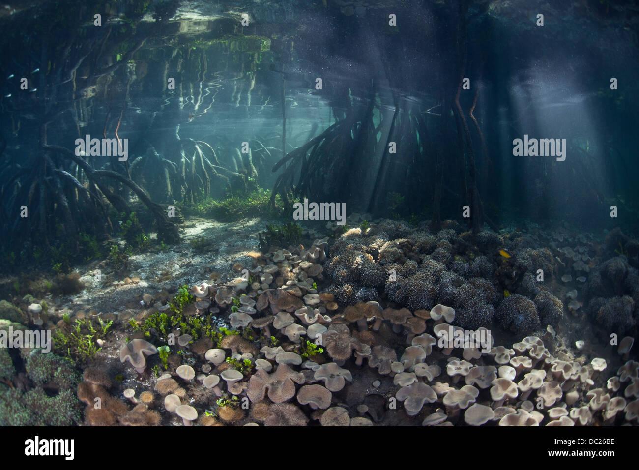 Les mangroves de l'écosystème, Rhizophora sp., Raja Ampat, Papouasie occidentale, en Indonésie Photo Stock