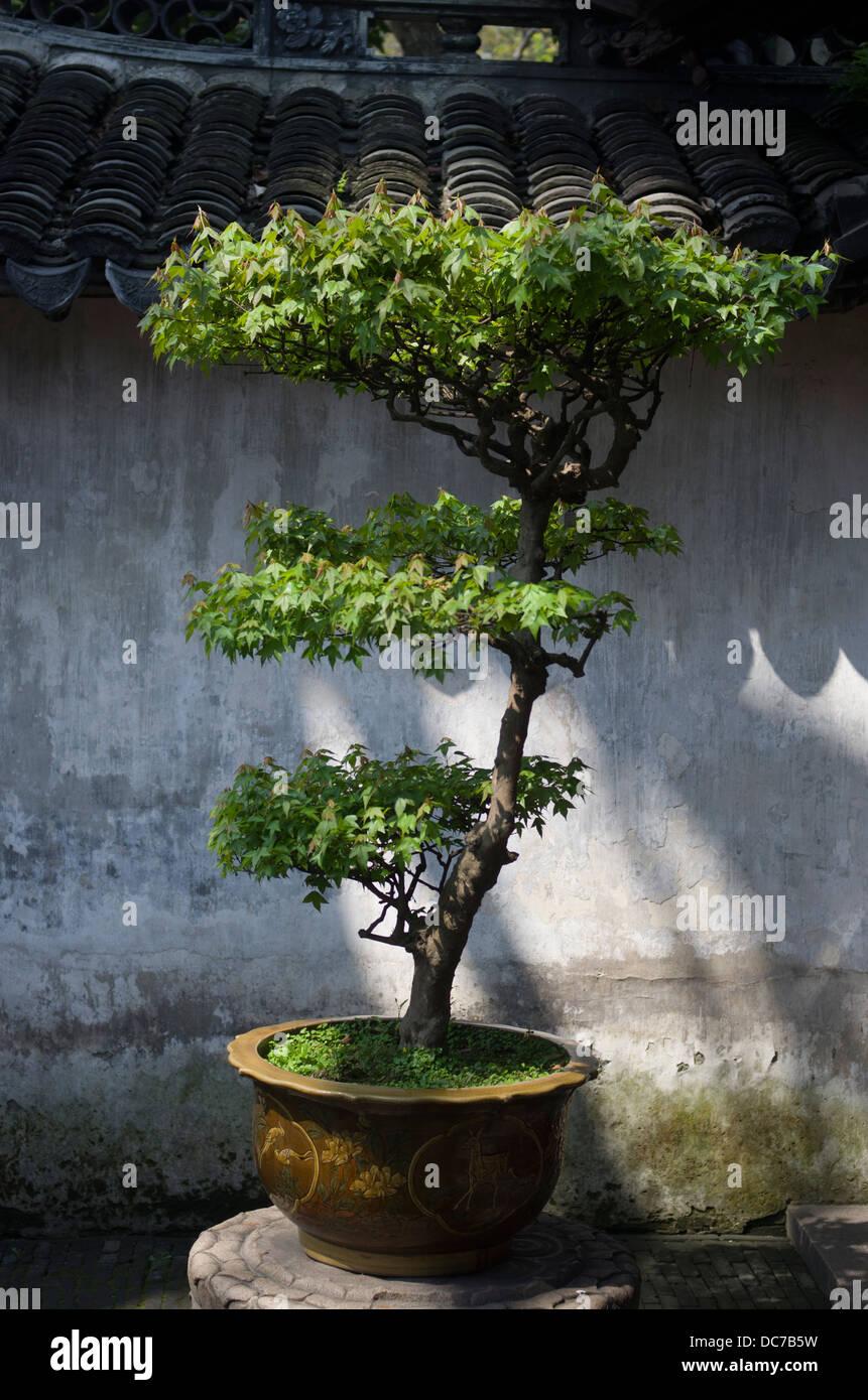 arbre décoratif ( bonsai ) yu garden / jardin yuyuan, au jardin