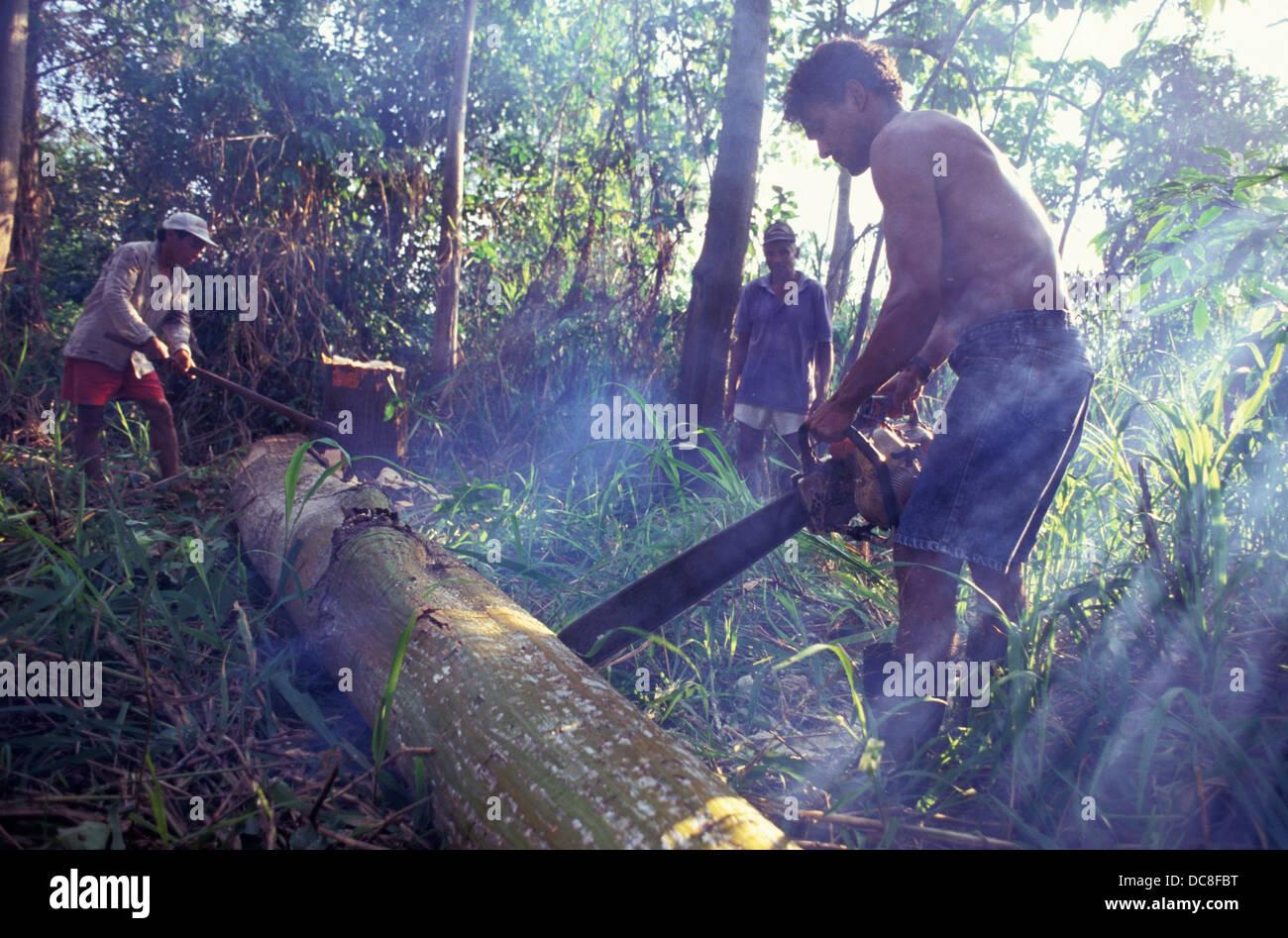 L'exploitation forestière illégale, la coupe d'arbre avec tronçonneuse, forêt amazonienne Photo Stock