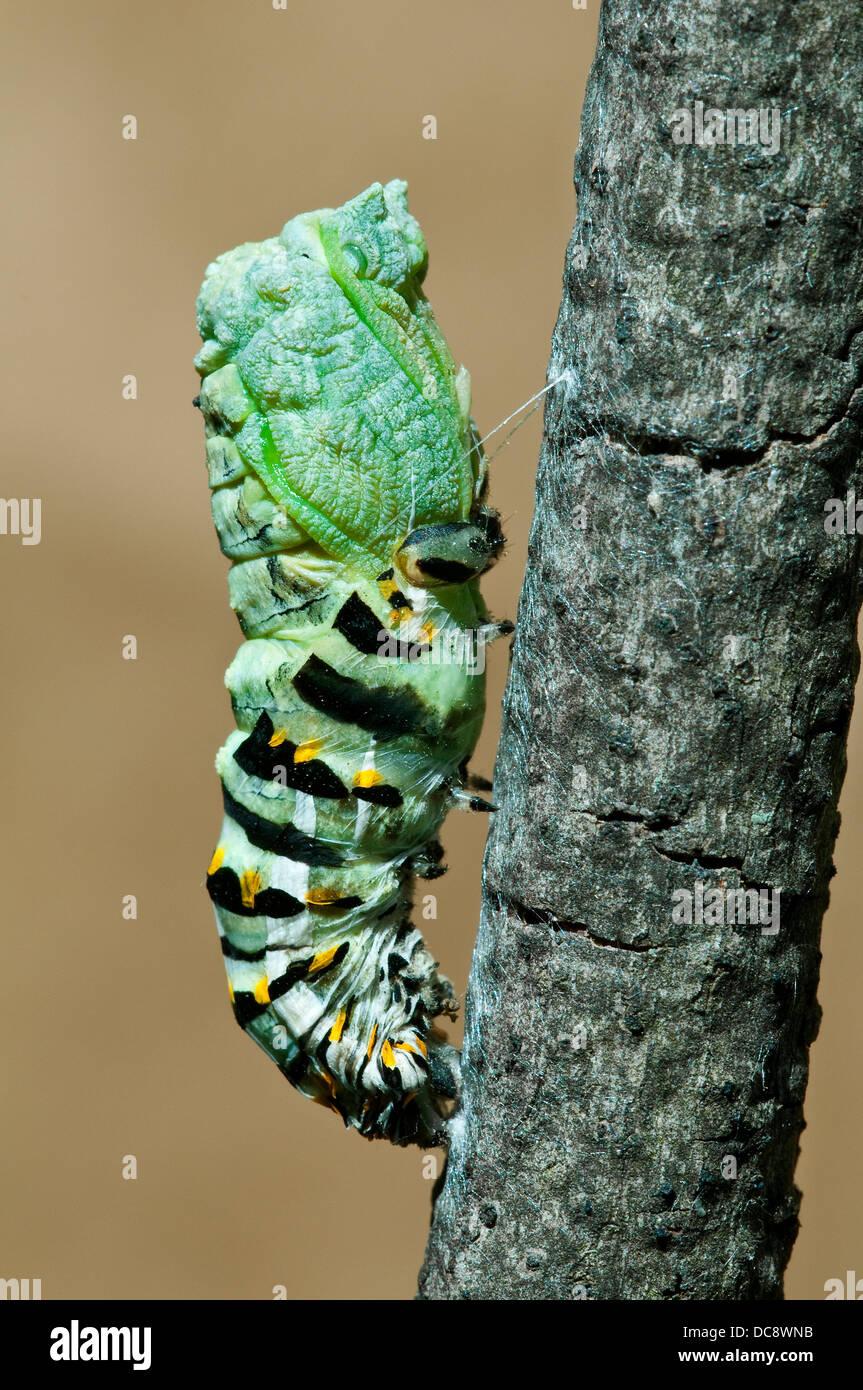 E black swallowtail Butterfly Papilio polyxenes nymphe versant c'est peau E USA Banque D'Images