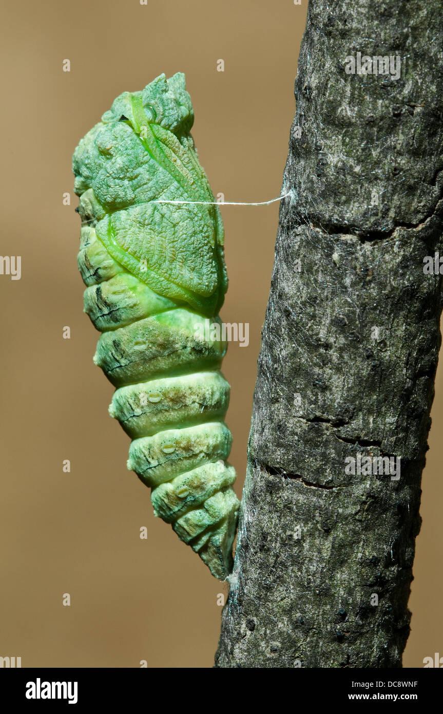 E black swallowtail Butterfly Papilio polyxenes nymphe juste après le licenciement c'est peau E USA Banque D'Images