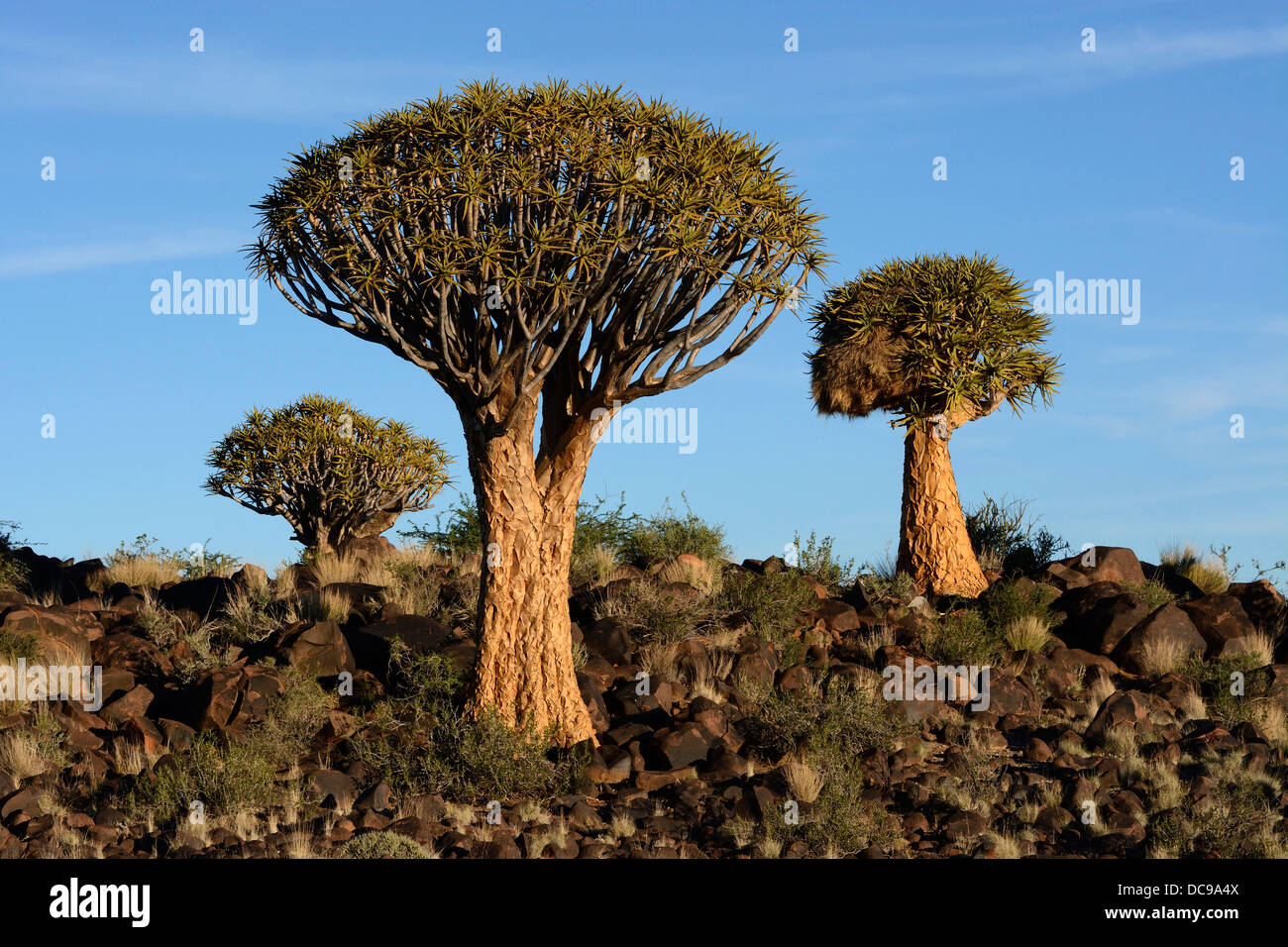 Arbres carquois ou Kocurbooms (Aloe dichotoma), Quiver Tree Forest Photo Stock