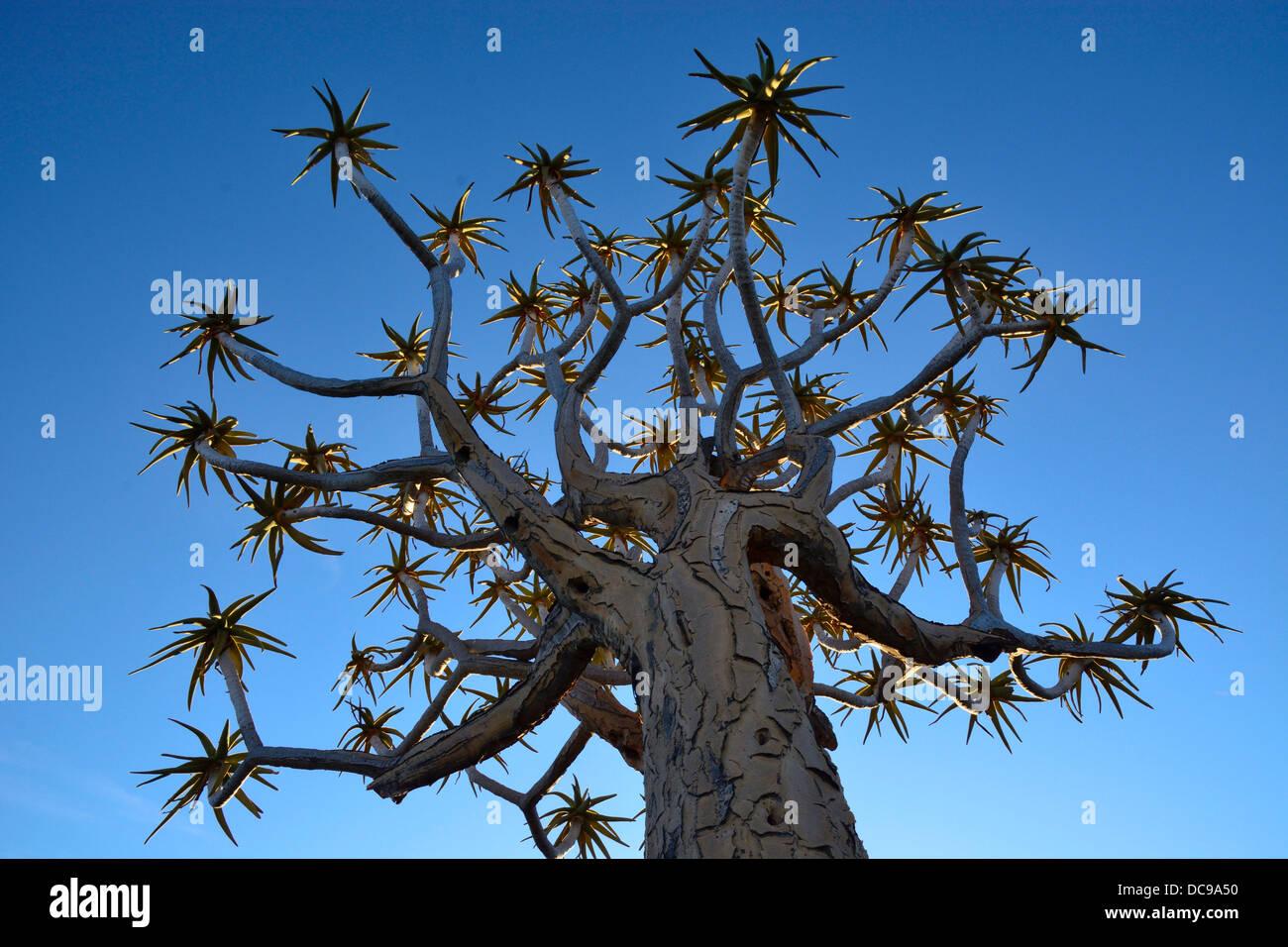 Quiver Tree ou Kokerboom (Aloe dichotoma) Photo Stock