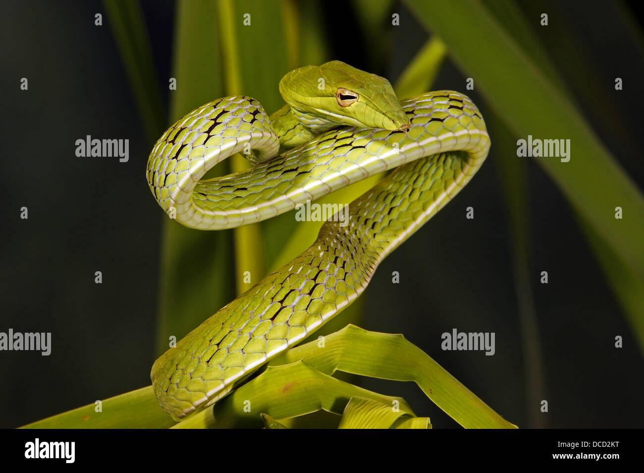 Arbre long bec (serpents Ahaetulla prasinus), Banque D'Images