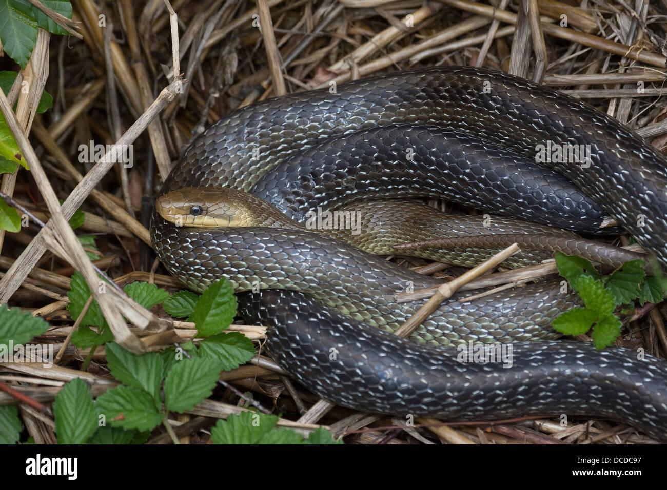 Äskulapnatter, äskulap-natter, natter, äskulappnatter, Zamenis longissimus, Elaphe longissima, aesculapian Photo Stock