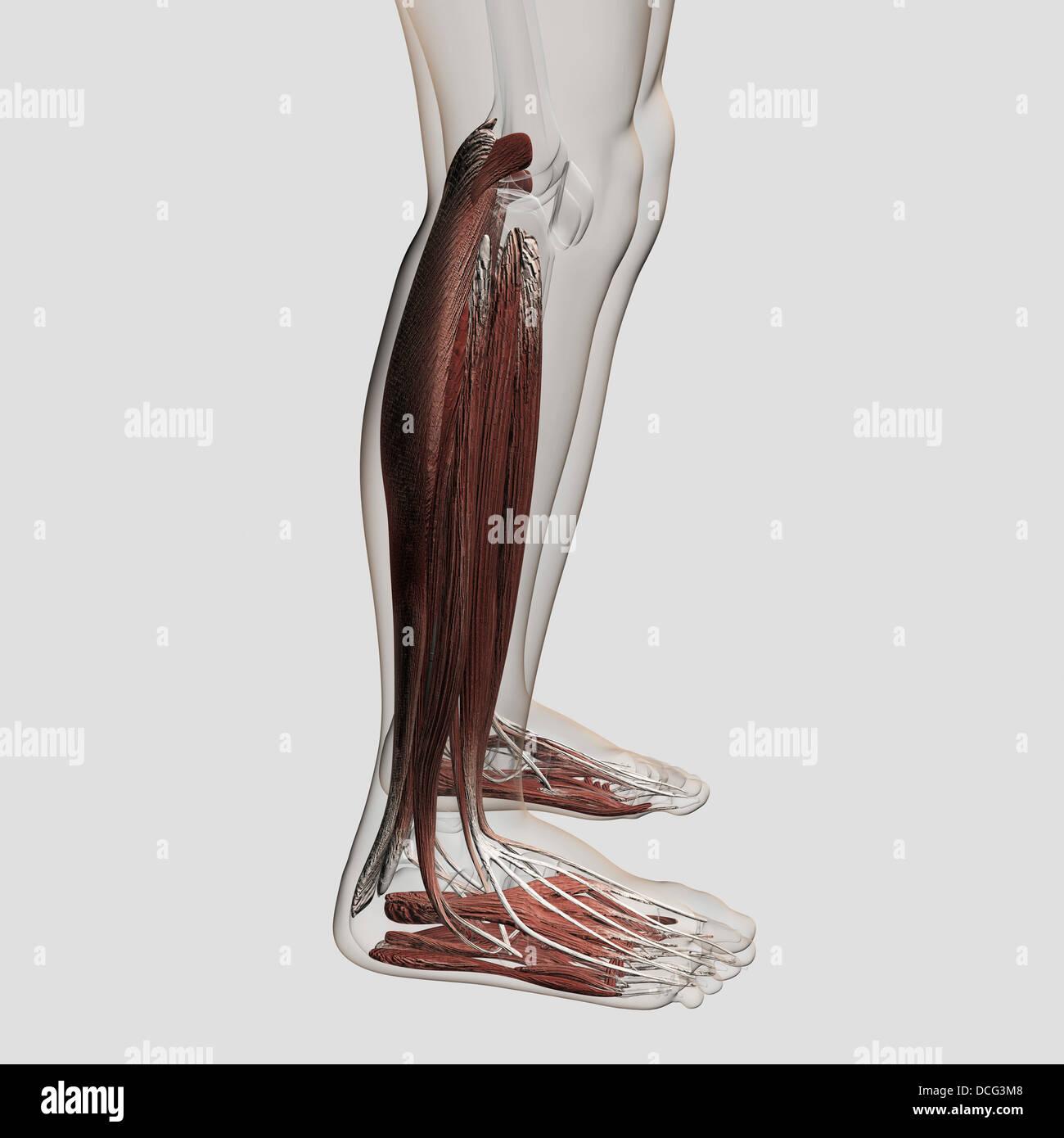 Muscle anatomie de l'homme les droits de l'jambes, vue antérieure. Photo Stock