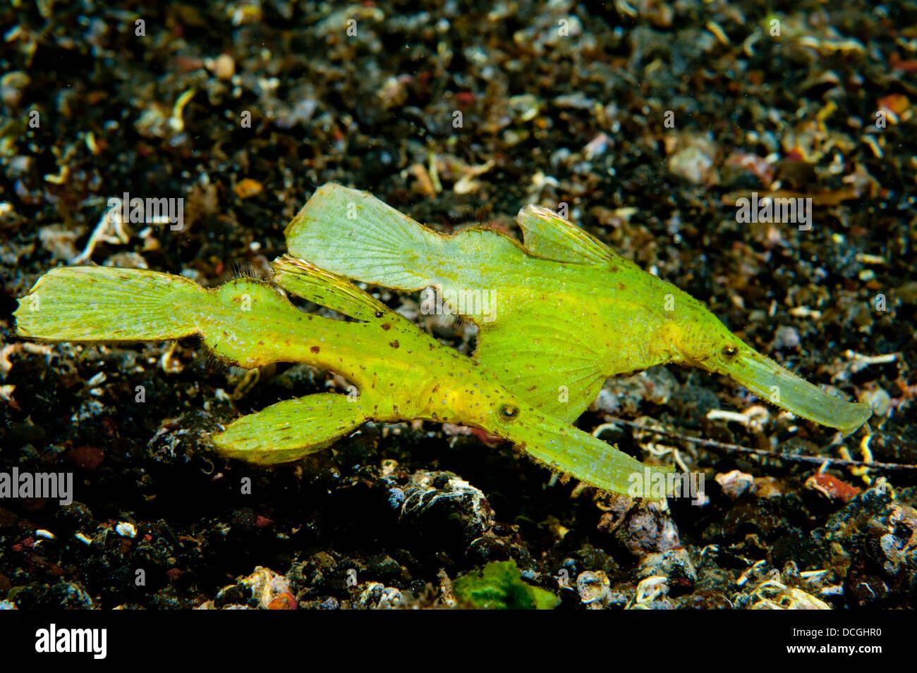 Syngnathe fantôme robuste deux (Solenostomus cyanopterus), côte à côte contre sable volcanique, Photo Stock
