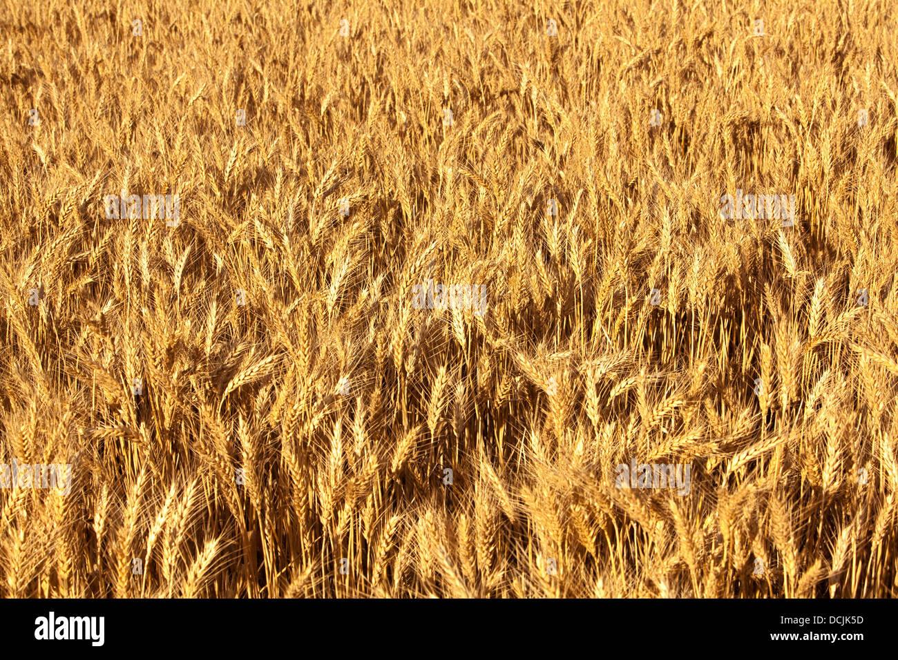 Prêt pour la récolte de blé dans la région de terres agricoles dans le milieu au nord de l'Australie Photo Stock